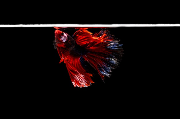 Halfmoon betta prachtige vissen. verover het bewegende moment mooi van siam betta-vissen