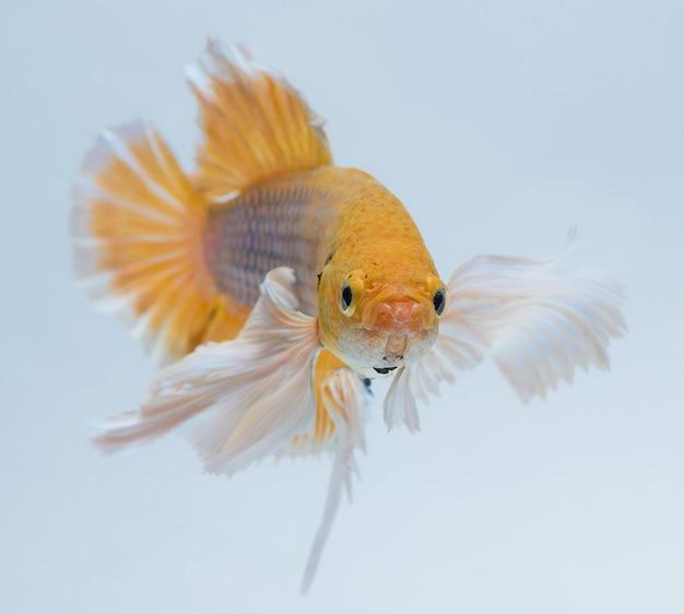 Halfmoon betta vis, kempvissen, betta splendens