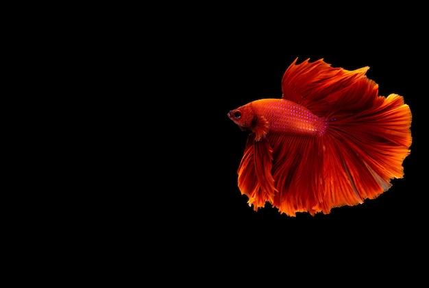 Halfmoon betta vis. kempvissen. veelkleurige vechtvissen geïsoleerd.
