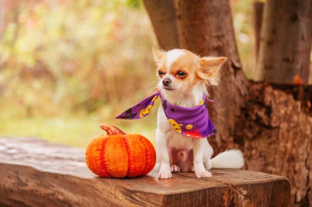 Halloween-concept. wit met rode vlekken langharige mini chihuahua hond in de buurt met een pompoen in de natuur