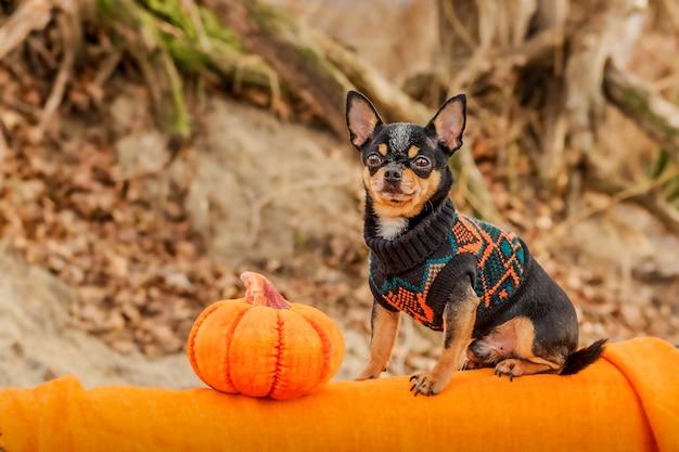 Halloween en chihuahua's concept. portret van schattige kortharige chihuahua-hond met halloween-pompoen.