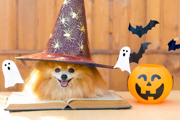 Halloween huisdier. hond oranje spitz heks kostuum zwarte hoed met toverboek, pompoen, emmer vleermuizen en spook