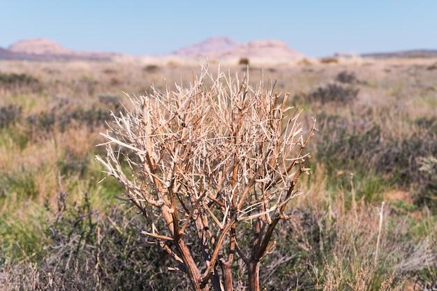 Haloxylon. saxaulboom in woestijn, de lenteochtend, kazachstan, haloxylon-installaties en zandduin. struik saxaul groeit in steppen van centraal-azië