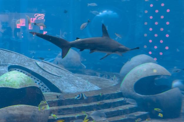 Hamerhaai in het aquarium. de grote hamerhaai (sphyrna mokarran) is de grootste soort hamerhaai, behorend tot de familie sphyrnidae. atlantis, sanya, eiland hainan, china.