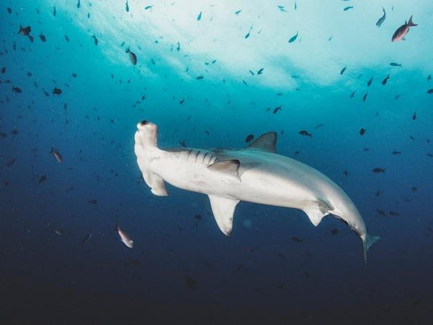 Hamerhaai (sphyrnidae) zwemmen in tropische onderwaterwereld. hamerhaai in onderwaterwereld. observatie van de oceaan in het wild. duikavontuur in de ecuadoraanse kust van galapagos