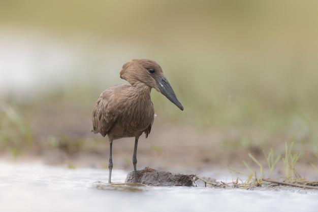 Hammerkop vogel