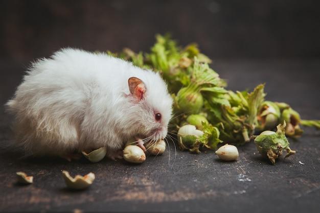 Hamster die hazelnoot op donkerbruin eet.
