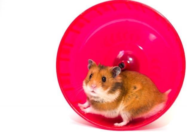 Hamster die in een hamsterwiel loopt