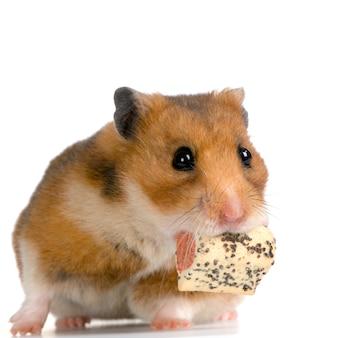 Hamster geïsoleerd eten