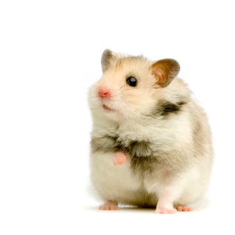 Hamster geïsoleerd