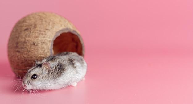 Hamster in een huis gemaakt van een kokosnoot op een roze achtergrond met kopieerruimte