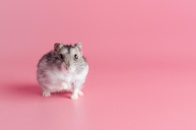Hamster op een roze achtergrond met kopieerruimte
