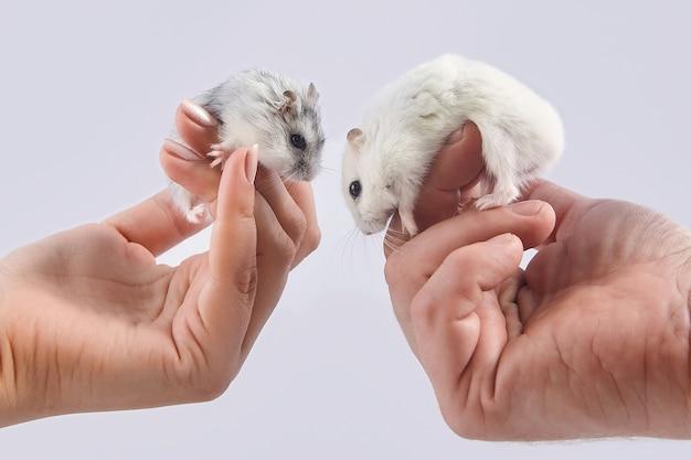Hamsters zitten op de handpalmen van een man en een vrouw