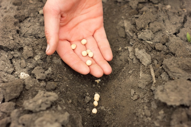 Hand aanplant erwtenzaden, lente gewassen, landbouw