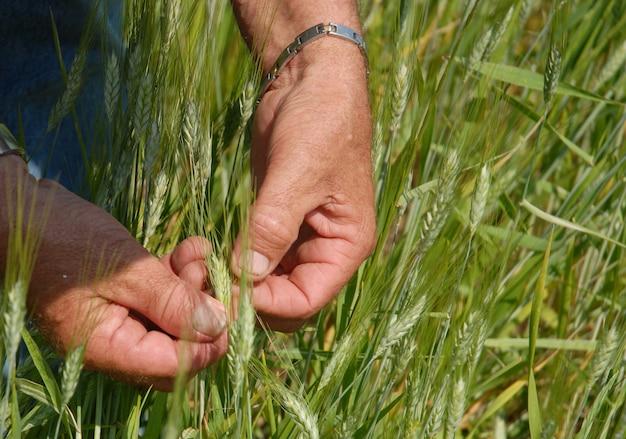 Hand die de tarwe onderzoekt