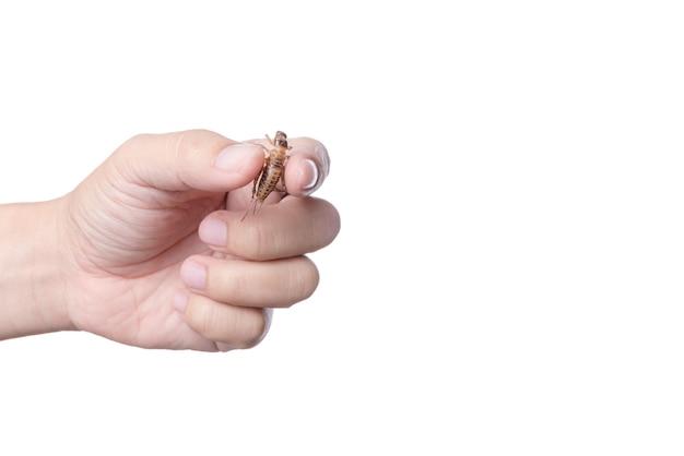 Hand die gefrituurde cricket, een insecthoogtepunt van proteïne, beroemd thais straatvoedsel houdt