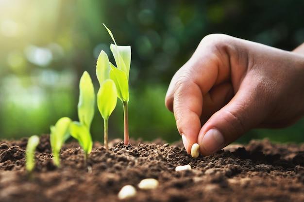 Hand die graanzaad van merg in de moestuin met zonneschijn plant