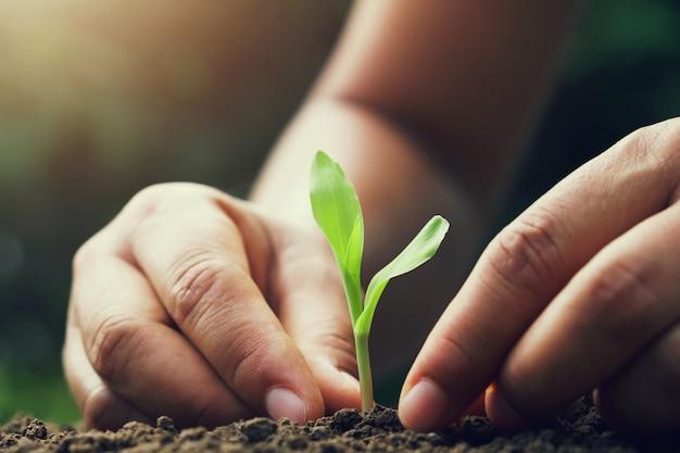 Hand die jong graan voor het planten in tuin houdt