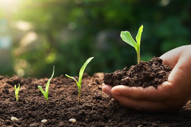 Hand die jong graan voor het planten in tuin met zonsopgang houdt