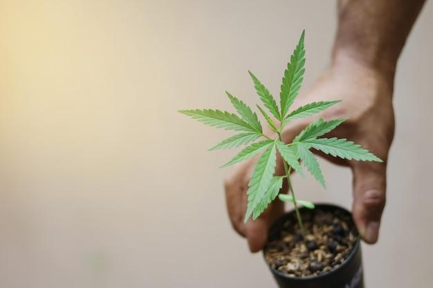 Hand die kleine jonge groene hennepspruit in pot houdt
