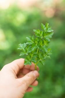 Hand die mooie groene peterselie houdt