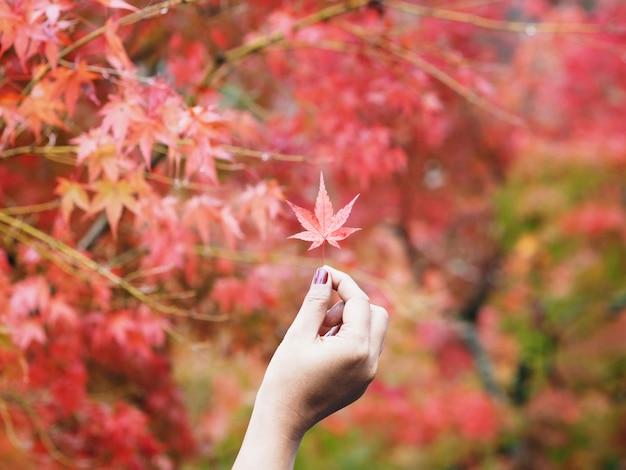 Hand die rood esdoornblad in de herfst houdt.