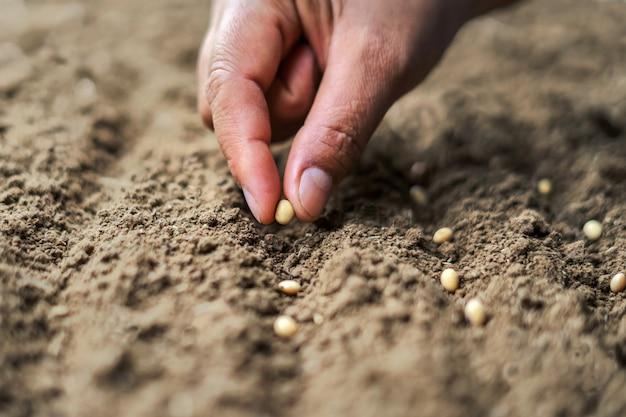 Hand die sojazaad in de moestuin planten. landbouw concept