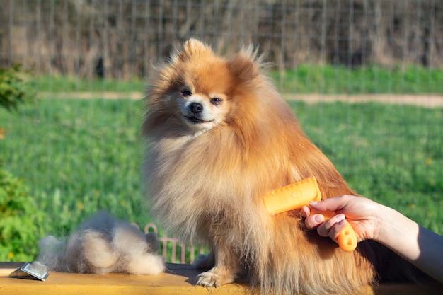 Hand die verzorging, kapsel doet, wol van mooie gelukkige pomeranian-spitzhond kamt. pluizige kleine puppy, verzorging van dierenhaar, snijprocedure. dierenarts kapper, trimsalon buitenshuis