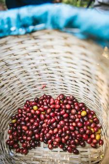 Hand geplukte rijpe rode arabica-koffibessen in de mand bij het akha-dorp van maejantai op de heuvel in chiang mai, thailand.