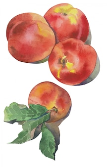 Hand getekende aquarel nectarines. illustratie van fruit perzik.