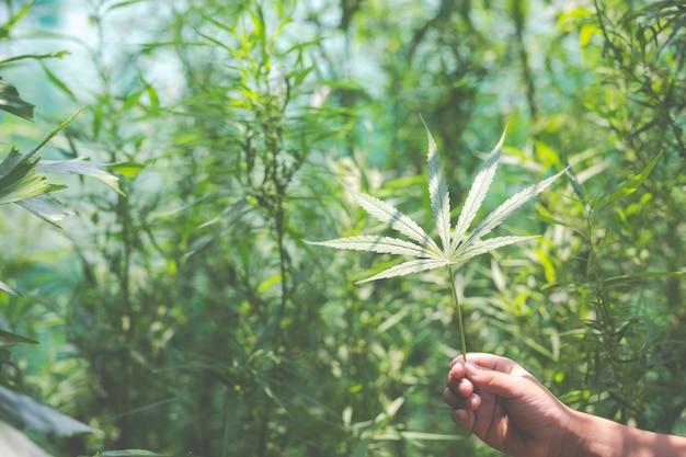 Hand marihuana bladeren.