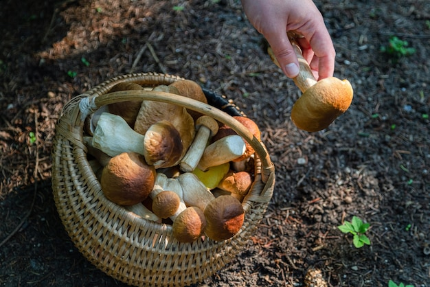 Hand met boltetus edulis naast een volle rieten mand met paddenstoelen in het bos. paddenstoelenoogstseizoen in het bos in de herfst.