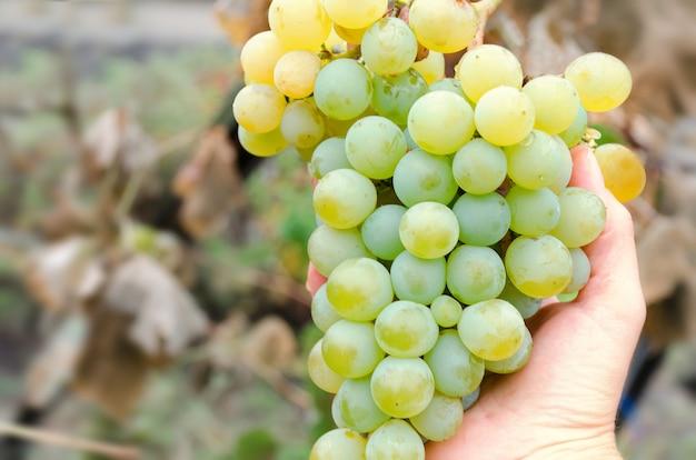 Hand met druivenbos, soort chardonnay, witte soort wijn, herfst oogst. foto met selectieve zachte focus. lege ruimte voor tekst, kopieer ruimte.