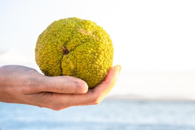 Hand met een groene vrucht van maclura pomifera