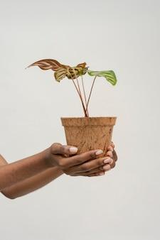 Hand met een pauwplant in een pot