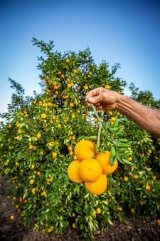 Hand met een tak van verse sinaasappelen na het oogsten