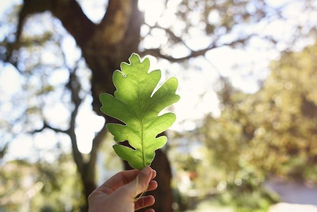 Hand met groen eikenblad in tegenlicht