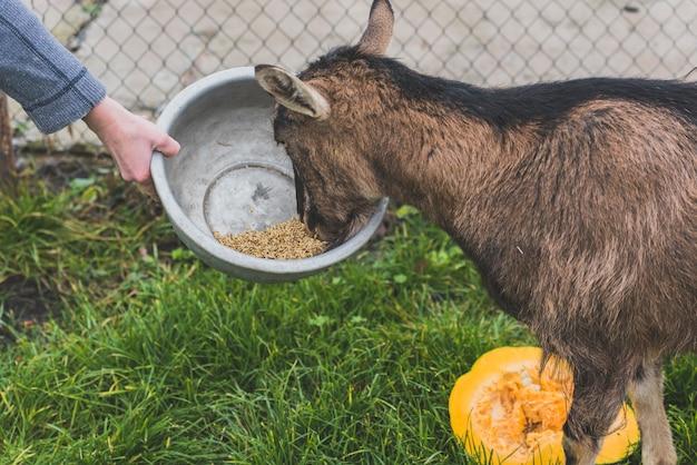 Hand met kom voor geit