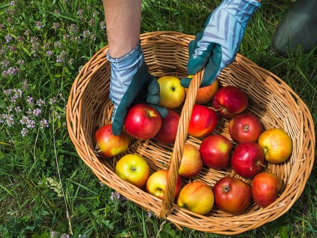 Hand met vers geplukte appel uit de mand
