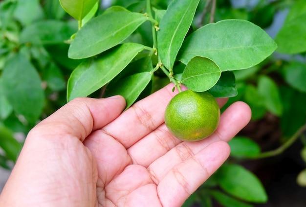 Hand met verse kumquats of kleine sinaasappels