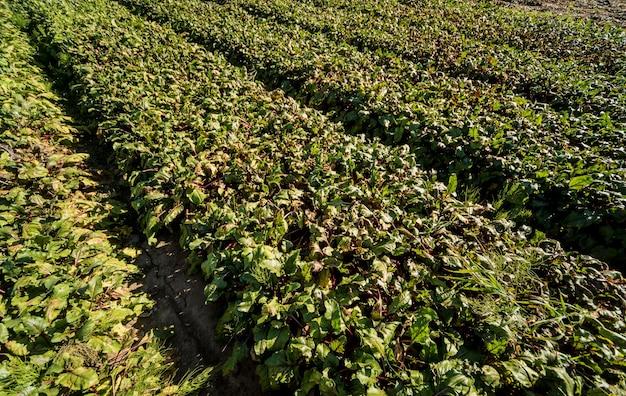 Hand oogsten procesvelden van bietenwortels.