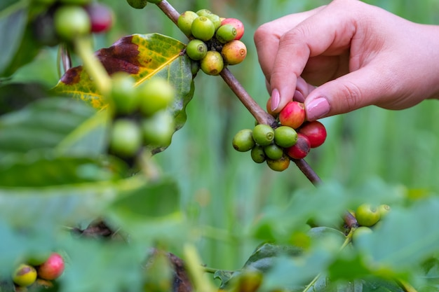 Hand plukken verse en ruwe koffiebonen op koffieboom