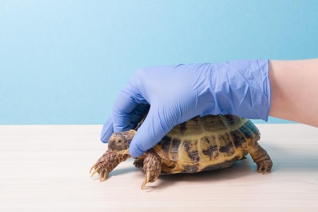 Hand van een dierenarts in een handschoen houdt het hoofd van een landschildpad vast voor onderzoek