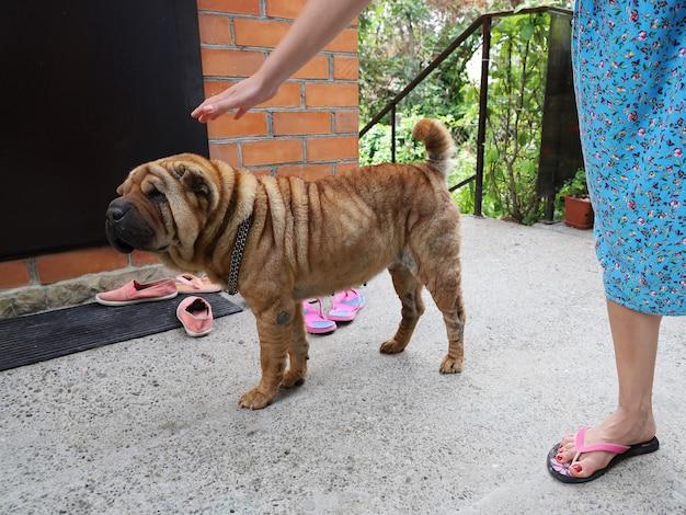 Hand van jonge vrouw reikt naar het hoofd van de hond om te aaien