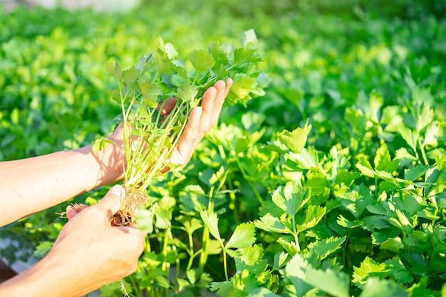 Hand van landbouwer die de hydrocultuurgroente van de selderie in famrland houdt.