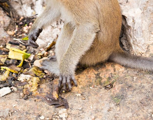 Hand van macaque monkey met lange staart in bos
