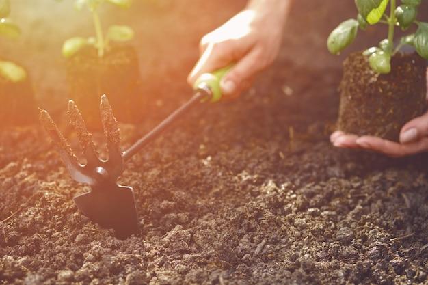 Hand van onbekende dame gebruikt schoffel en houdt jonge groene basilicumspruit of plant in grond klaar om gepl...