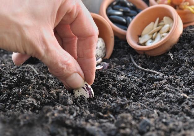 Hand van tuinman zaaibonen zaaien