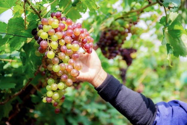 Hand van werknemer druiven plukken.
