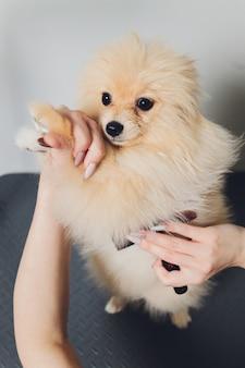 Hand verzorgen, knippen, wol kammen van mooie gelukkige pomeranian spitz-hond.